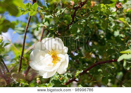White Wild Rose Flower Hip Spring Blossom