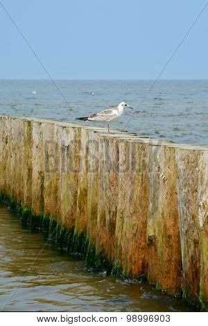 Wooden Groyne And Seagull.