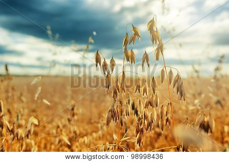Closeup Of Golden Oat Ears. Agricultural Concept