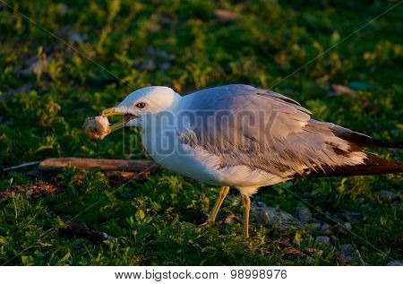 The Gull Is Eating