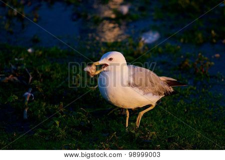 The Funny Gull With The Food Is Going Somewhere