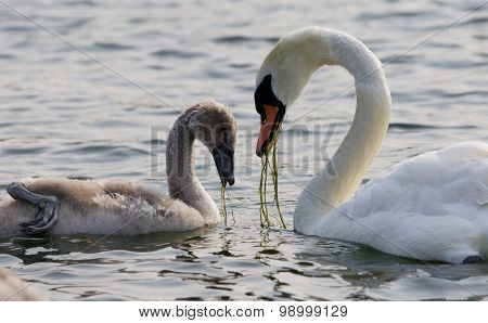 The Young Swan And His Mother Are Eating Together