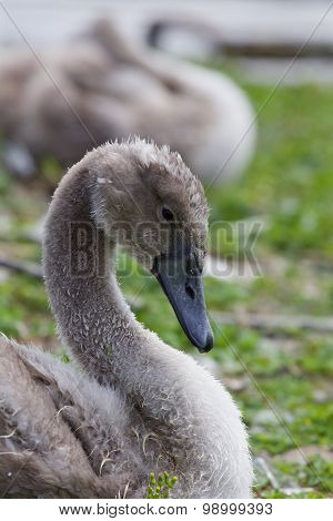 Beautiful Young Gray Swan