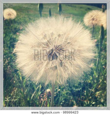 Dandelion flower with instagram effect