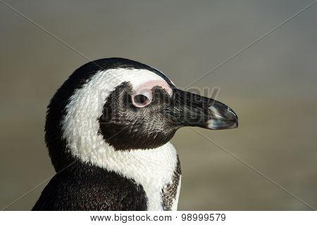 African Penguin Portrait