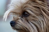 Постер, плакат: Cute Yorkshire Terrier Dog