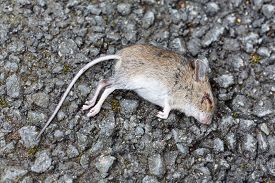 image of field mouse  - Dead field mouse lying on the ground outdoors - JPG