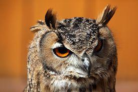 foto of owls  - Indian eagle - JPG