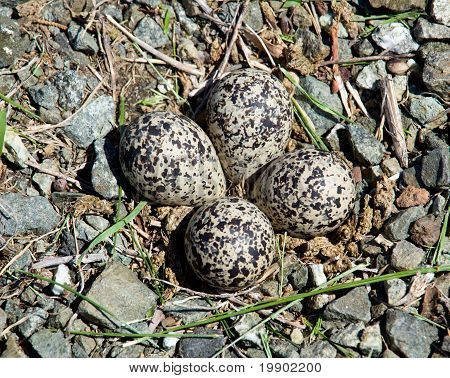 Killdeer Bird Eggs In Nest