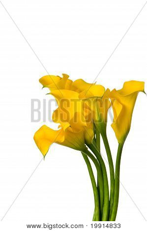 bunch of yellow calla lilies