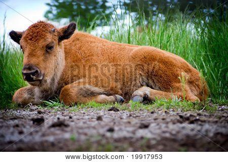 Baby Buffalo Laying