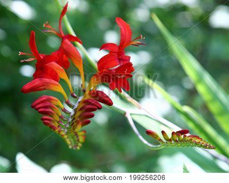 Beautiful red Crocosmia flowers in the summer season