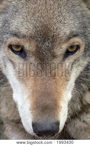 Wolf Face Close-Up