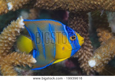 Juvenile Queen Angelfish