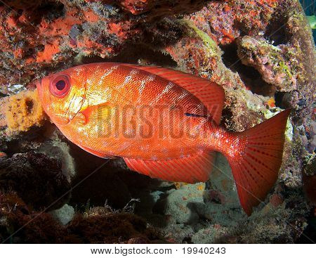 Glasseye Snapper