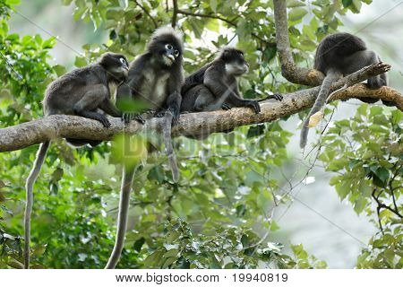 Dusky blad Monkeys