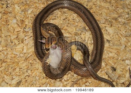 Snake with a mouse