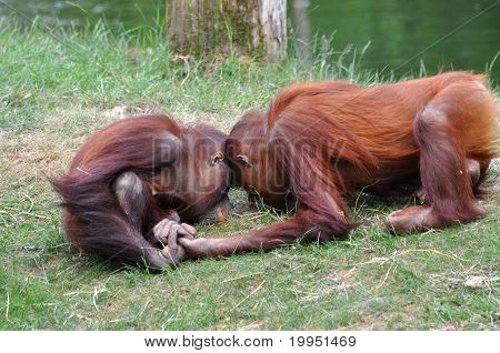 Orangutans In Love