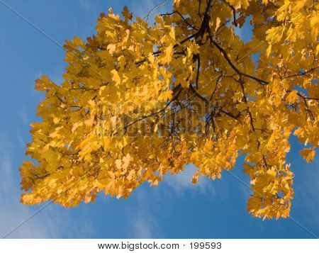 Yellow Leaves With Blue Sky