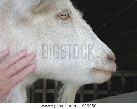 Lovable Goat
