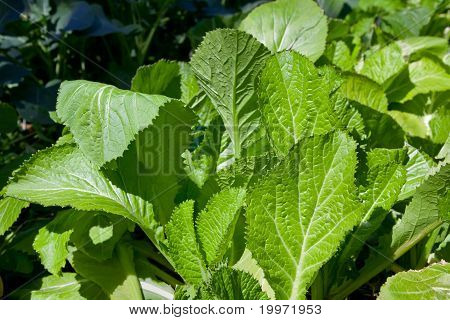 Mustard Greens In The Winter Garden