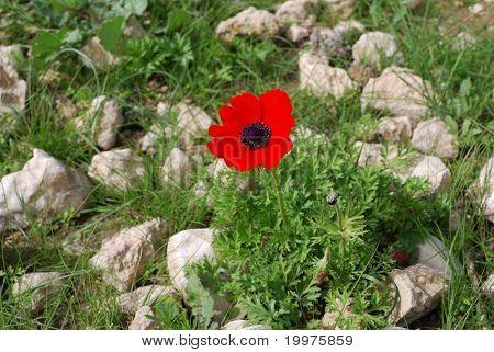 Anemone - Flower Of Spring
