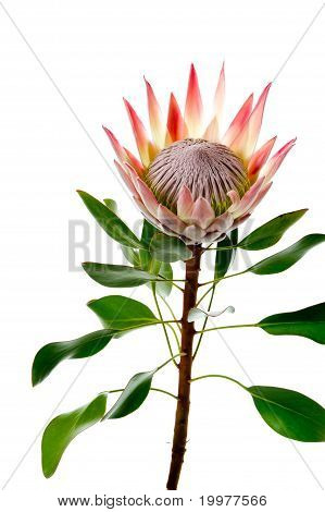 protea with leaves