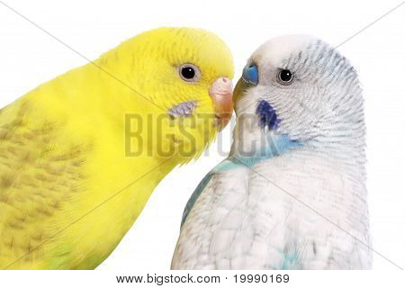 Pair Of Budgies, Isolated On White