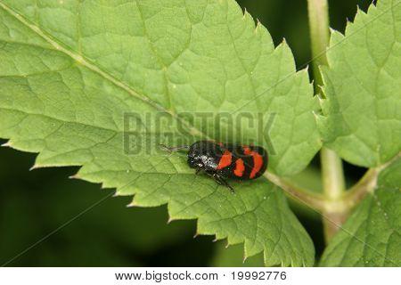 Froghopper (Cercopis vulnerata)