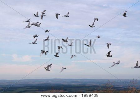 Homing Pidgeons