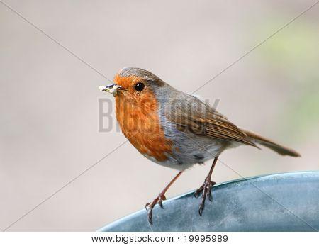 Robin met een snavel vol larven