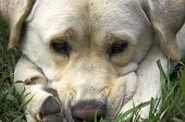 image of sad dog  - faceshot of handsome white down with face nestled between paws appearing worried and sad - JPG
