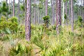 stock photo of saw-palmetto  - Palmetto covers the forest floor in the Everglades National Park in Florida - JPG