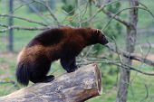 image of wolverine  - Wolverine standing on log in Whipsnade zoo - JPG