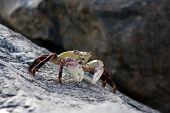 image of crustations  - This is the Purple Rock Crab or Shore Crab Latin name Leptograpsus variegatus. It is found in southern waters around Australia and New Zealand.