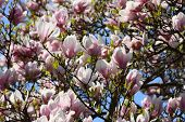 stock photo of japanese magnolia  - pink flowers of blooming magnolia tree and the blue sky - JPG