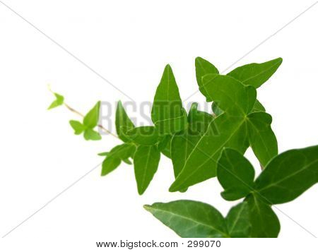 Ivy On White Background 1