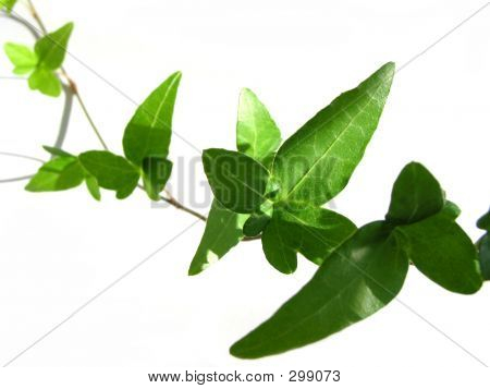 Ivy On White Background 4