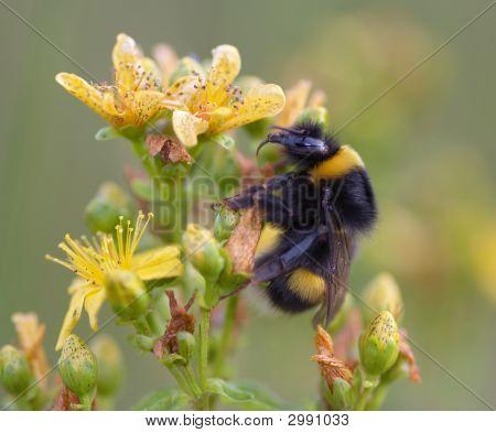 Humblebee
