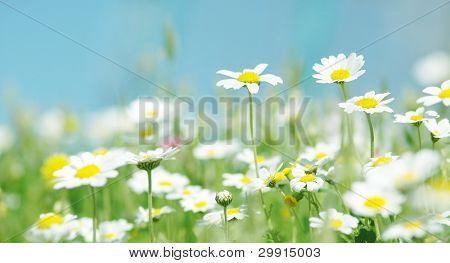 Daisy flowers (selective DOF), spring series B