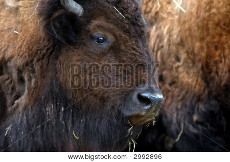 Bison In Herd