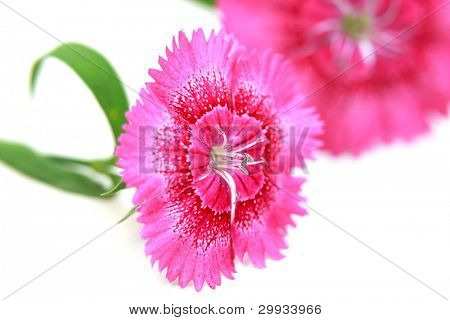 Two pink Dianthus flowers against white background