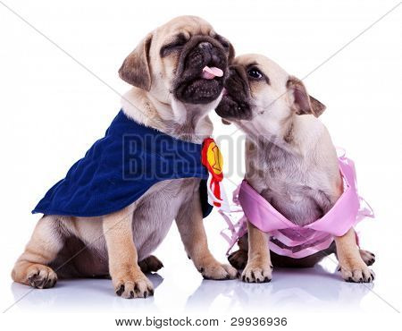 princess mops puppy is whispering something to its champion lover, or kissing it. princess and champion pug puppy dogs kissing on white background