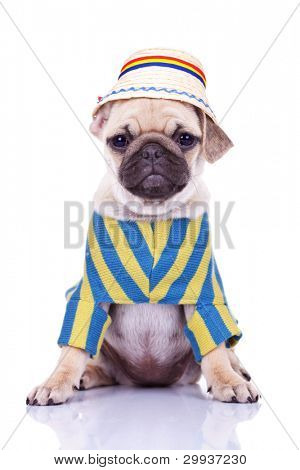 cute pug puppy dog wearing clothes and a traditional romanian hat on white background. adorable dressed mops puppy looking at the camera while sitting