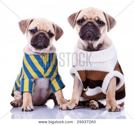 two cute dressed pug puppy dogs sitting on white background. curious looking mops puppies wearing cool clothes