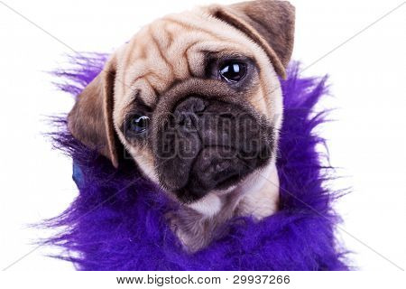 head of an adorable dressed mops dog. face of a cute pug puppy dog on white background