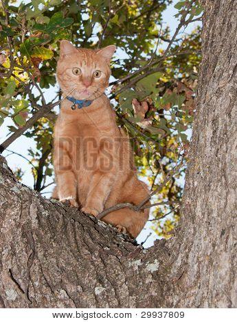 Very worried looking orange tabby cat up in a tree, meowing