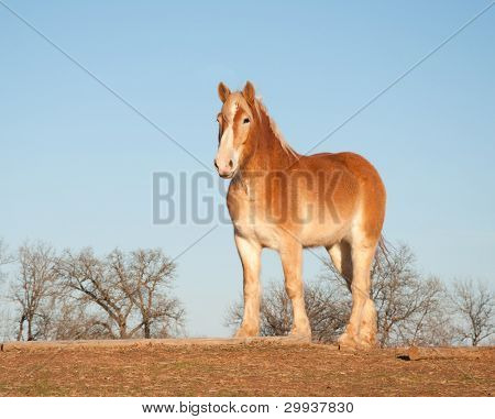 Beautiful belgian draft horse in winter pasture