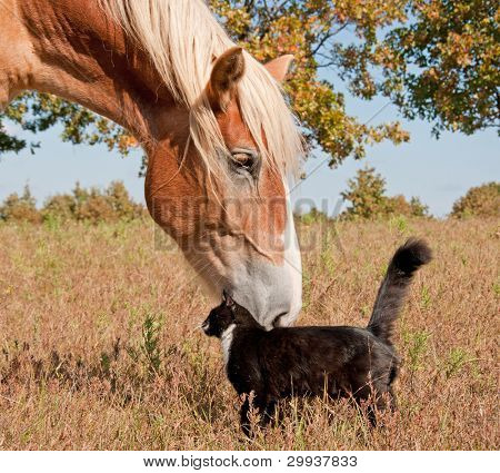 Tuxedo cat and a big horse - best friends