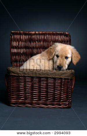 Golden Retriever Puppy In A Basket